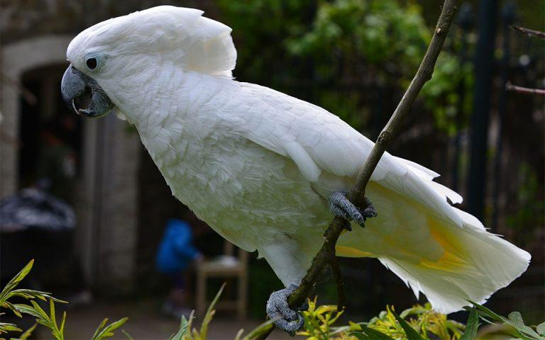 Papagal umbrelat (Cacatua alba) stand pe o creanga.