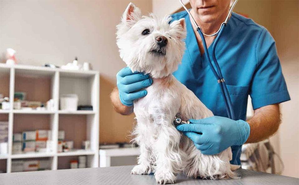 Caine controlat de un veterinar.
