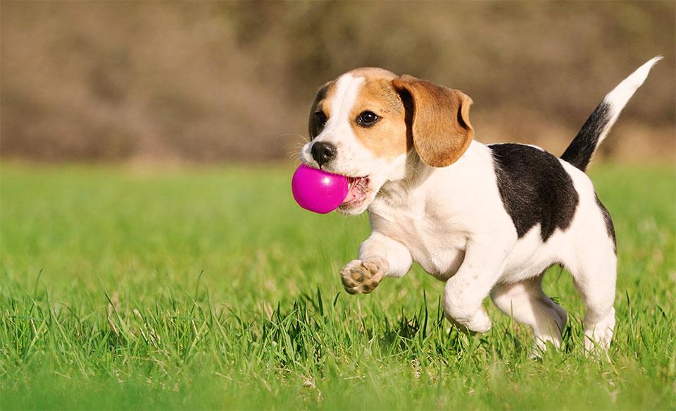 Pui de caine Beagle alergand cu o minge roz in gura.