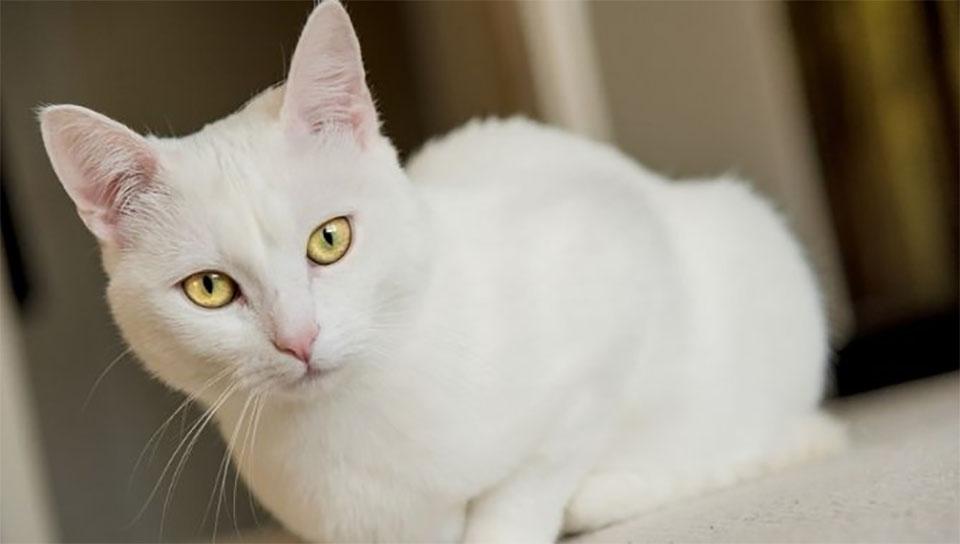 Pisica American Shorthair alba.
