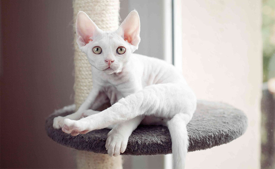 Pisica Devon Rex alba.