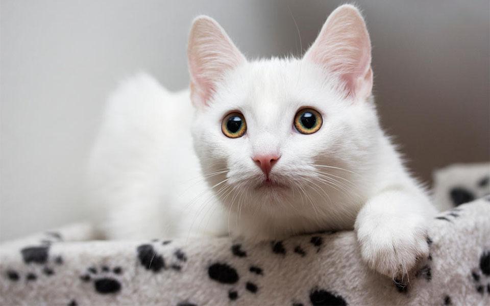 Pisica European Shorthair.