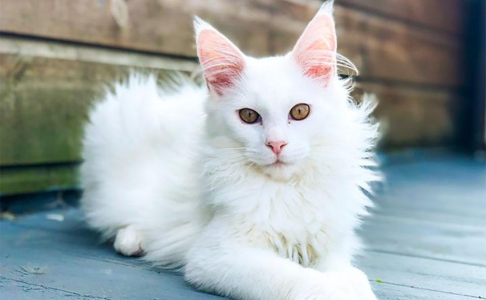Pisica Maine Coon alba.