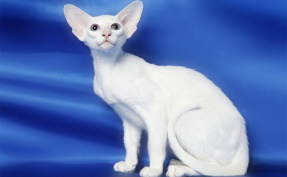 Pisica Oriental alba.