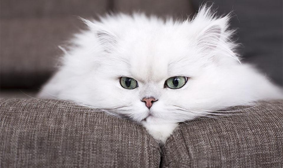 Pisica Persana alba.