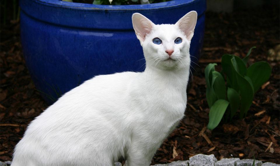 Pisica Siameza alba.