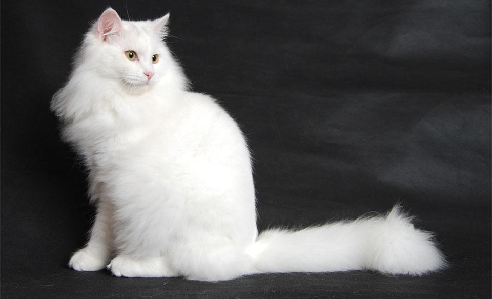 Pisica Siberiana alba.