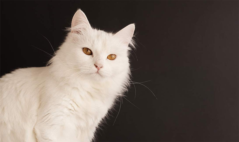 Pisica Turkish Angora alba.