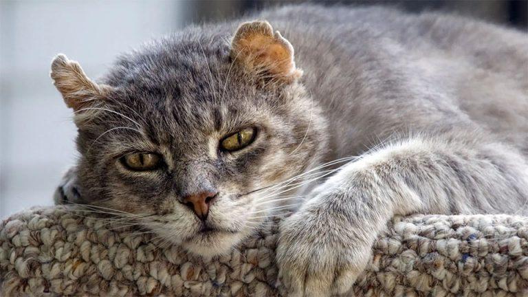 Pisica batrana stand culcata.