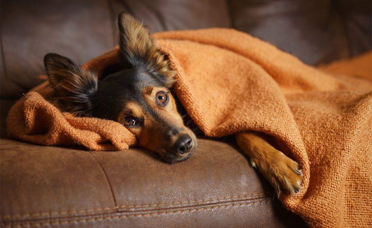 Caine stand culcat pe o canapea si invelit cu o patura.