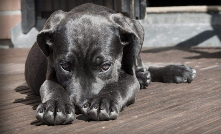 Caine negru stand culcat pe podea.