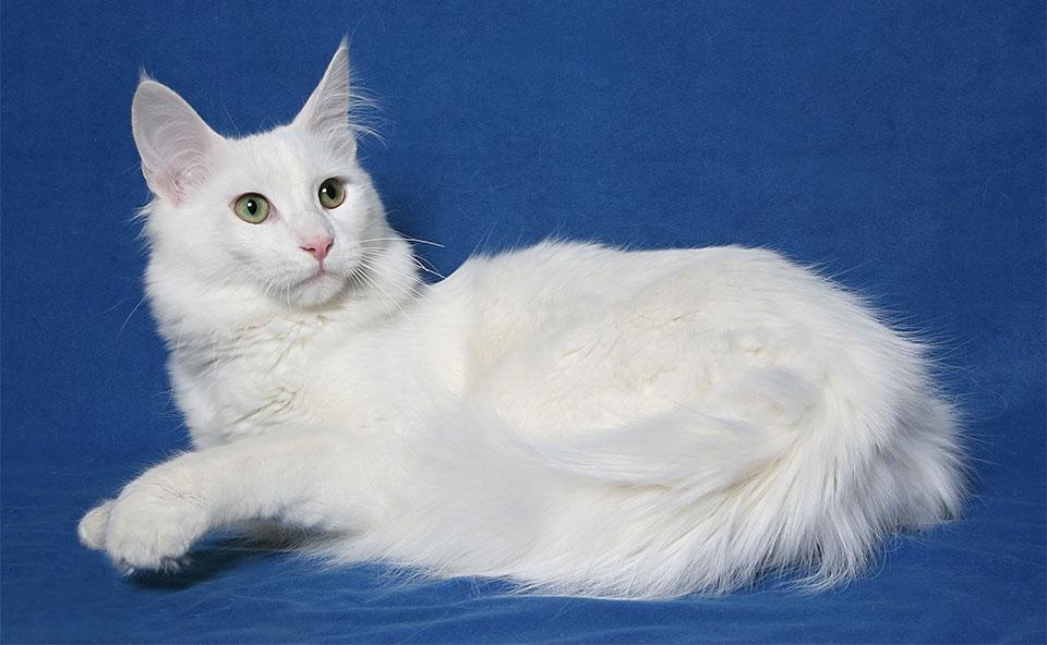Pisica Turkish Angora pe un fundal albastru.