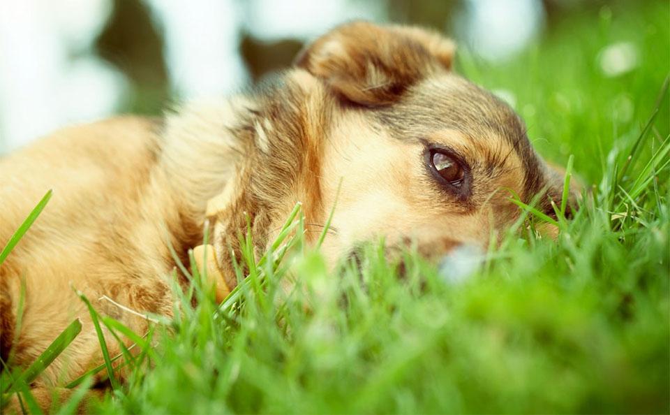 Caine stand culcat in iarba.