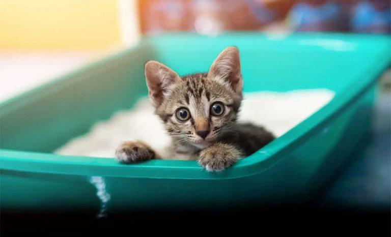 Pui de pisica stand intr-o litiera verde.