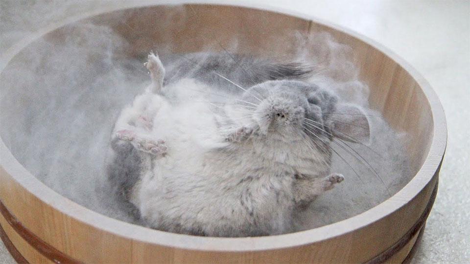 Chinchilla facand o baie de praf.