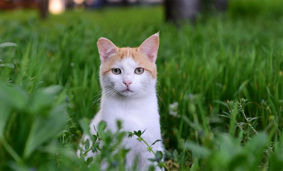 Pisica alb-portocaliu stand in iarba