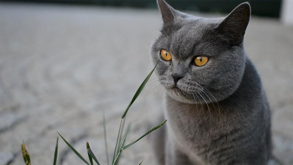 Pisica British Shorthair.