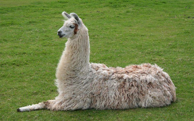 Lama stand culcata in iarba.