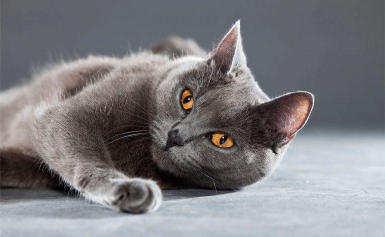 Pisica Chartreux stand culcata.