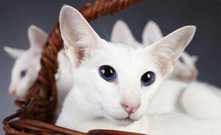 Pisici Colorpoint shorthair albe intr-un cos.