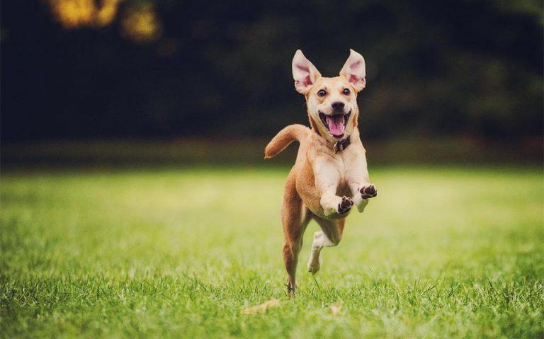 Caine alergand prin iarba.