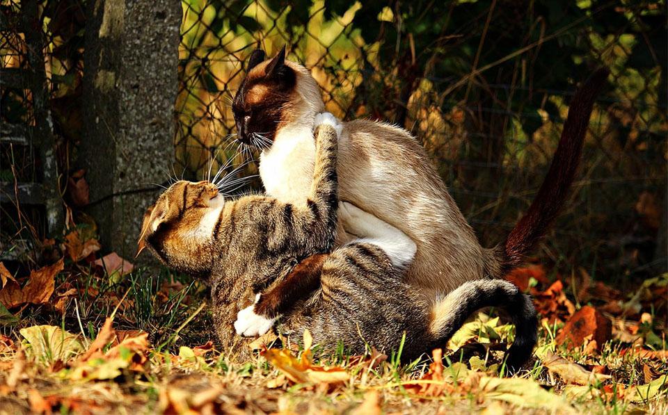 Doua pisici batandu-se intr-o curte.