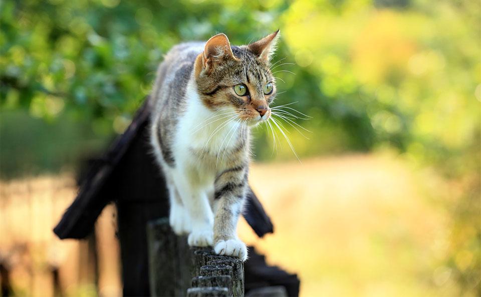 Pisica mergand pe un gard.