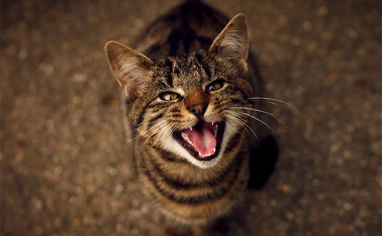 Pisica tigrata mieunand.
