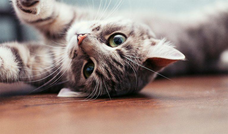 Pisica stand pe spate pe podea.