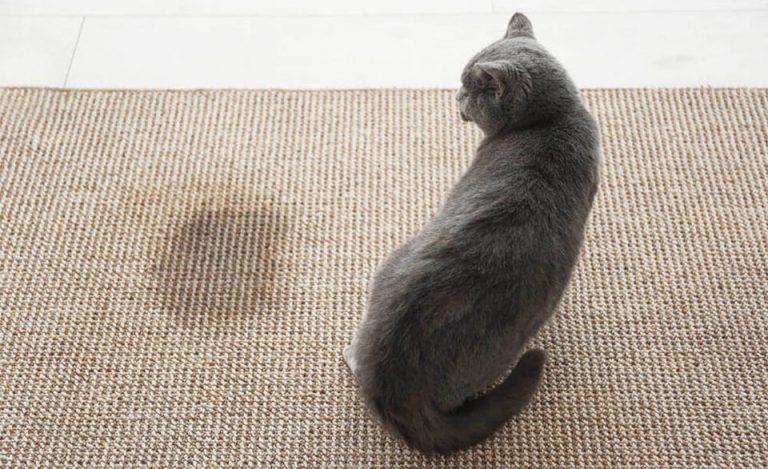 Pisica stand langa o pata pe un covor.