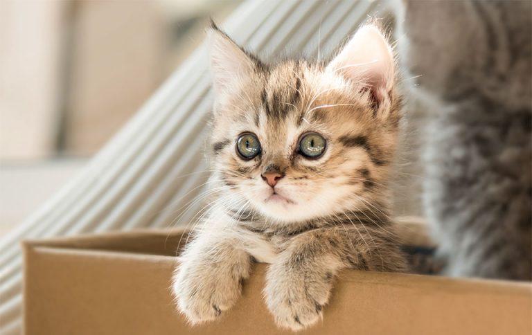 Pui de pisica stand pe marginea unei cutii.
