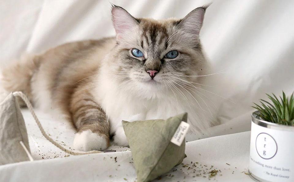 Pisica stand culcata langa un saculet cu catnip.