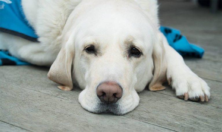 Caine alb stand culcat pe podea.