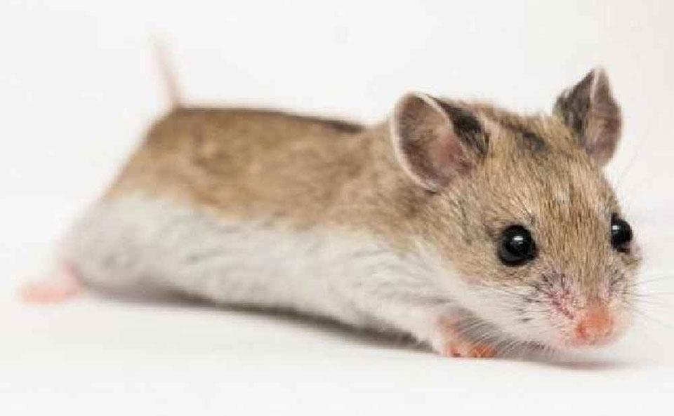 Hamster chinezesc vazut de aproape.