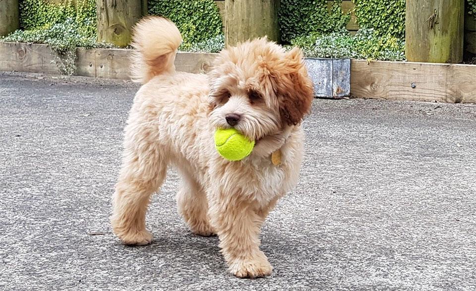 Pui de caine Löwchen (Micul Câine-Leu) cu o minge de tenis in gura.