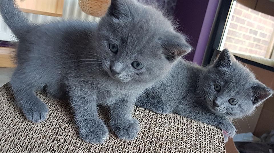 Doi pui de pisica rasa Chartreux.