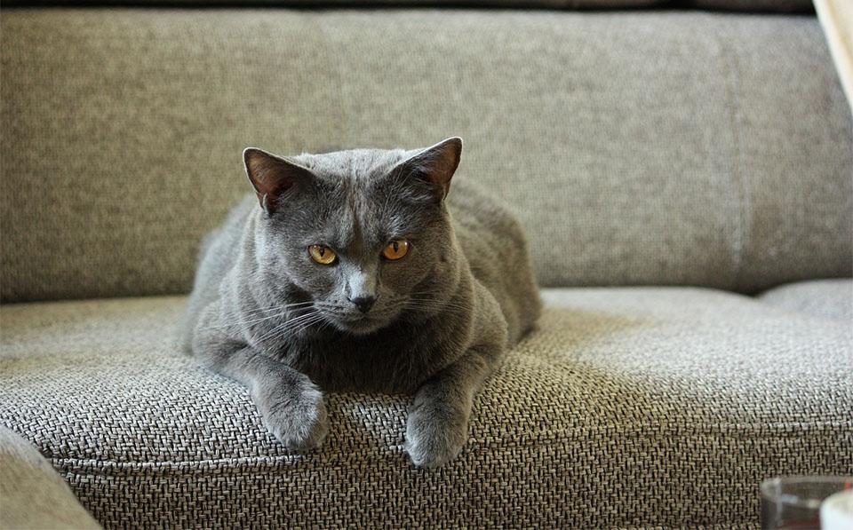 Pisica Chartreux stand pe o canapea.