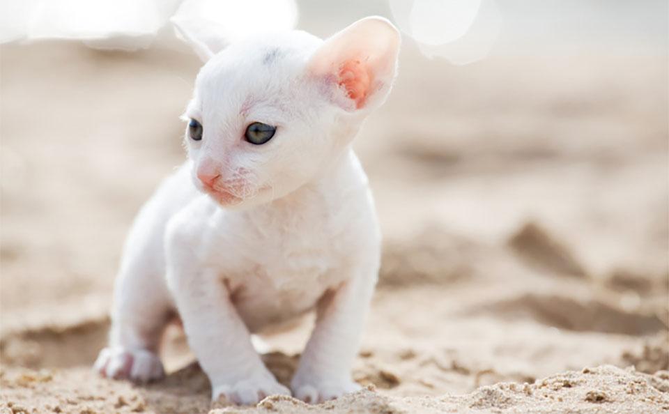 Pui de pisica Cornish Rex alb.