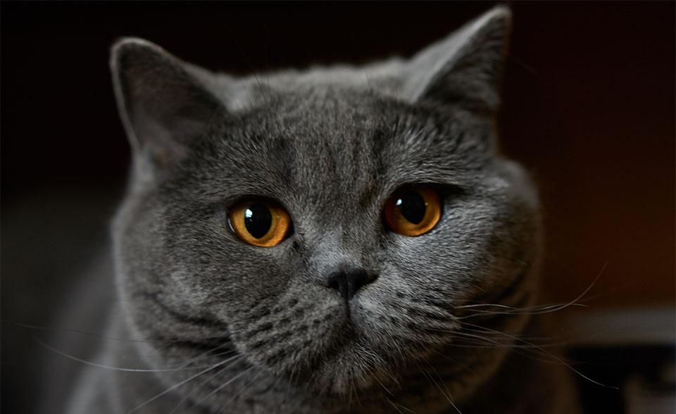 Pisica British Shorthair vazuta de aproape.