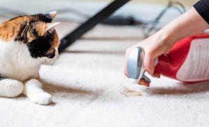 Pisica uitandu-se la o persoana care curata un covor.