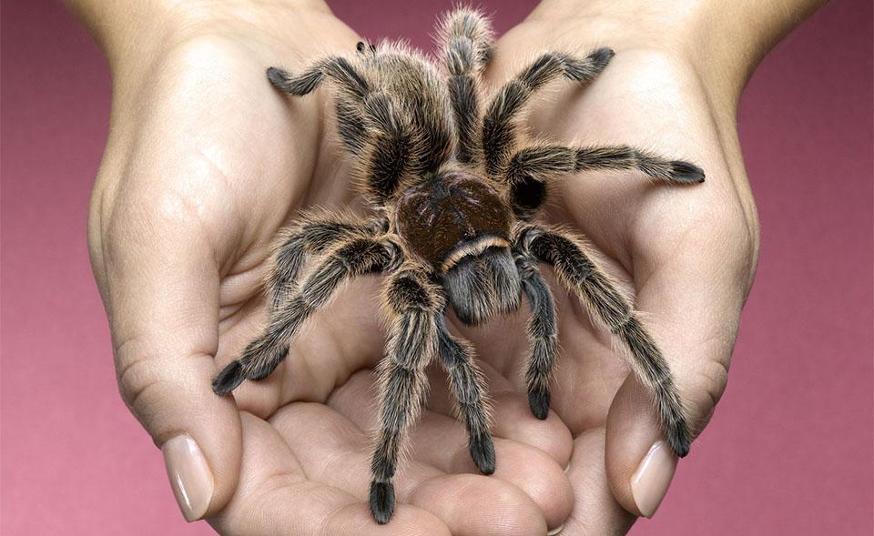 Tarantula tinuta in maini de o persoana.
