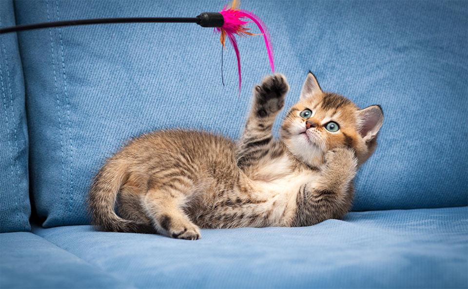 Pui de pisica jucandu-se cu o jucarie pe o canapea albastra.