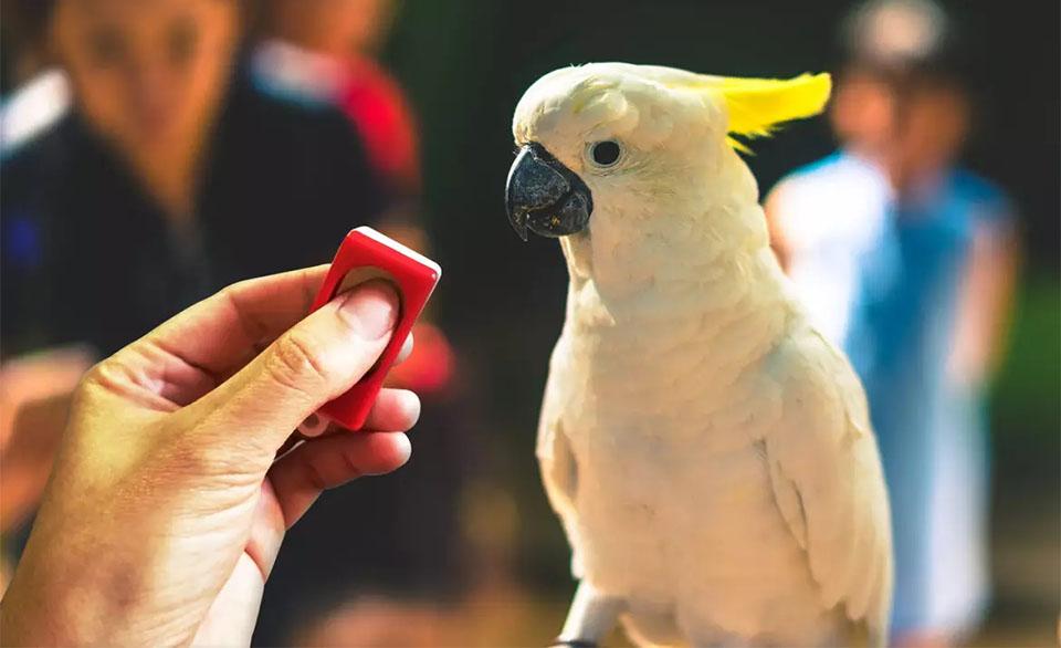 Papagal alb uitandu-se la un clicker rosu.