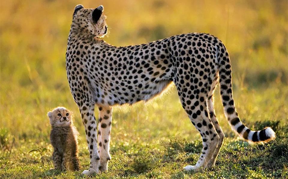 Pui de ghepard langa mama sa.