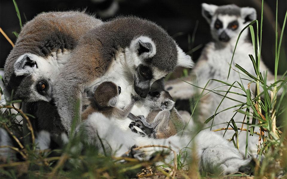 Pui de lemur stand pe burta mamei sale.