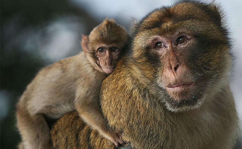 Pui de maimuta macac stand pe spatele mamei lui.