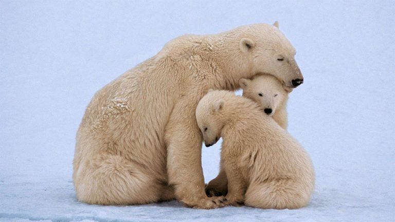 Ursoaica polara impreuna cu puii ei.
