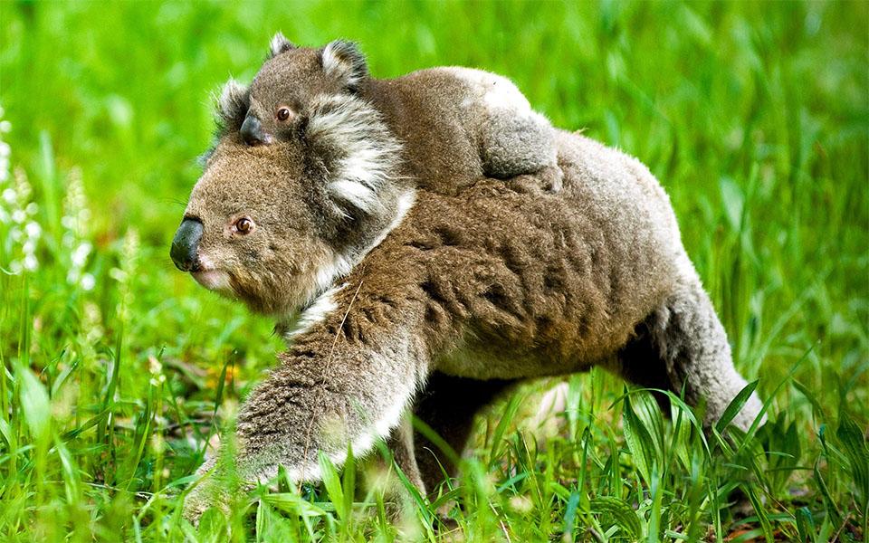 Mama koala carandu-si puiul in spate.