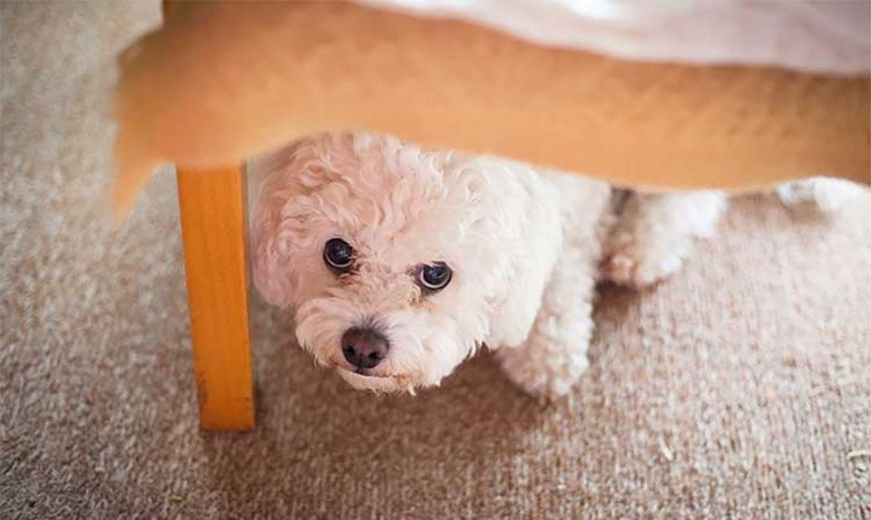 Catel alb stand ascuns sub un scaun.