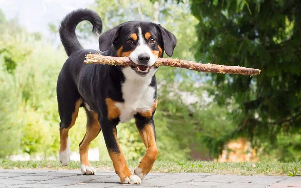 Caine Appenzeller Sennenhund cu un bat in gura.